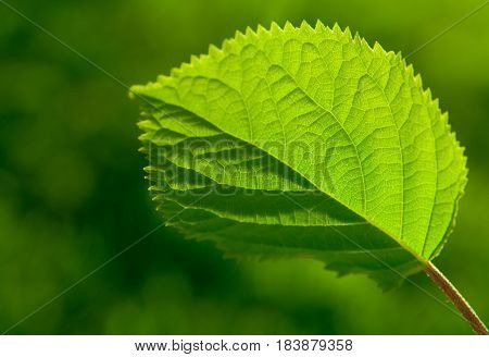 Green Leaf With Veinlet On A Nature Background