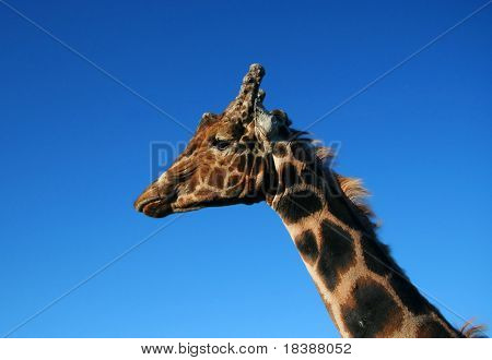 Giraffe in left profile. ZOO in Wroclaw, Poland. poster