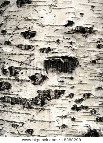 Birch bark background. Texture.