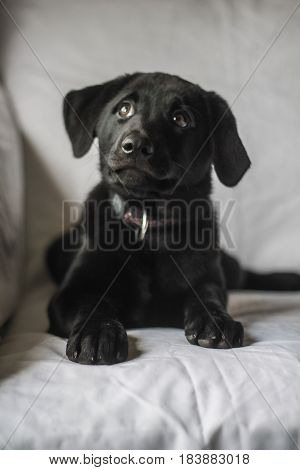 Black Lab puppy on white backdrop looking curiously into the distance