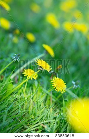 Blooming yellow dandelion flowers (Taxacum officinale). Spring nature background. Medicinal plant.
