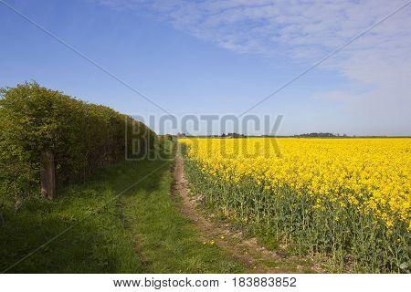 Hedgerow And Oilseed Rape
