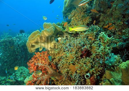 Colorful Coral Reef against Blue Water. Dampier Strait Raja Ampat Indonesia