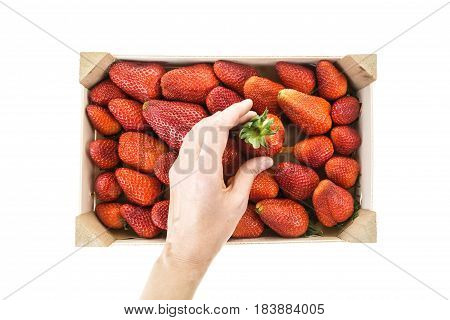 Hand Picking Red Ripe Strawberry From Wooden Box, Isolated On White Background.