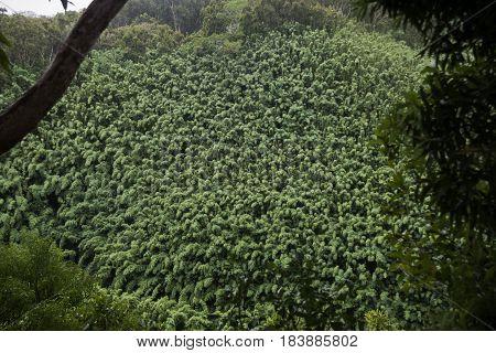 Bamboo Forrest. Waikamoi Nature trails.  Hana Highway, Maui, Hawaii, USA