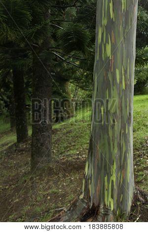Colorful Rainbow Eucalyptus Trees in Hana highway Maui, Hawaii, USA