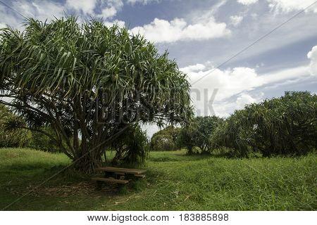 Pandanus Trees, Pipiwai Trail, Maui, Hawaii, Hena Highway, USA