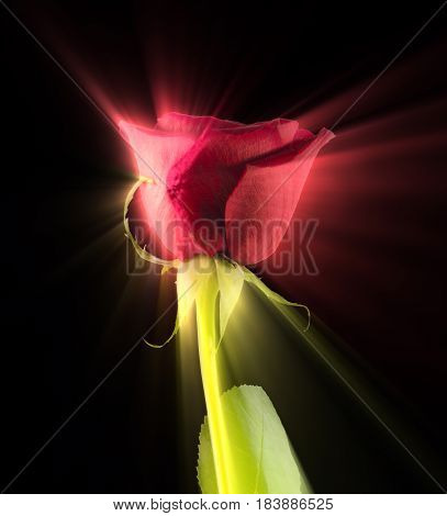 The beauty of a simple red rose brought out by special lighting and filtering techniques.