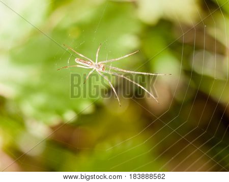 A Menacing And Thing Spider Sitting Resting On Its Web Outside Macro Close Up