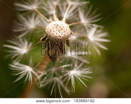 A White Dandelion Head Close Up Broken Bits Missing Flown Off With Porous Top Part In Detail With Pa