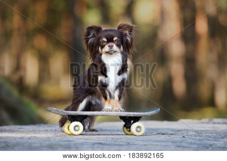 chihuahua dog standing on a skateboard outdoors