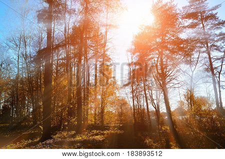 Autumn forest background. Forest autumn nature. Forest autumn sunny landscape - forest autumn yellow trees and sunbeams shining through the autumn tree tops. Autumn picturesque sunny forest landscape.