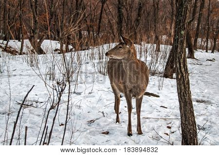 Wild young deer in winter forest. Animals artiodactyls in the nature of the North.