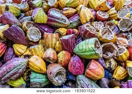 Pile of discarded empty cacao pods after cacao beans have been harvested Guatemala poster
