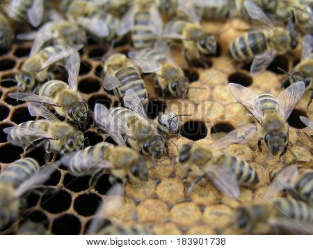 Artificial insemination of the bees in the apiary of beekeeper. Sealed brood in the hive with bee family. Sealed brood in the hive with bee family.
