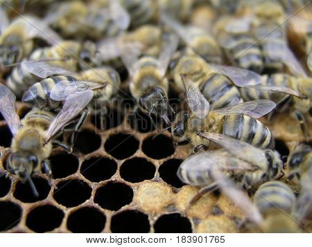 Bee colony in the stock on the frame with a sealed brood pollen and stores. The bees in the brood chamber on drawn comb with honeycomb and stores.