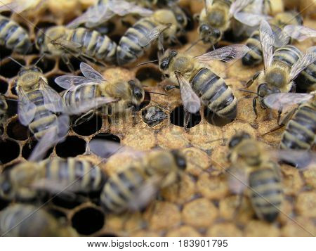bees crawl around capping brood in brood chamber. newborn on bee wax drawn comb with honey and ambrosia. nurse bees around the young bees in sealed brood.