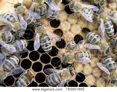 Young newborn bee crawling on the capping comb of the brood chamber. Artificial insemination of the bees in the apiary of beekeeper.
