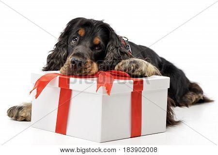 An Adorable English Cocker Spaniel With A Giftbox