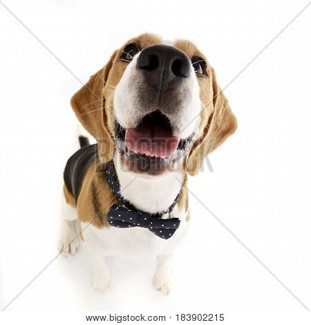 Wide Angle Shot Of An Adorable Beagle