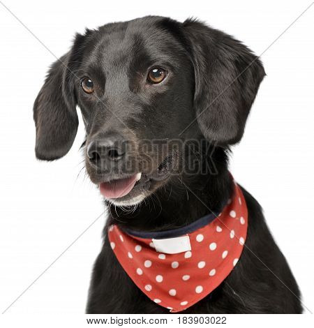 An Adorable Mixed Breed Dog With Red Polka Dot Scarf