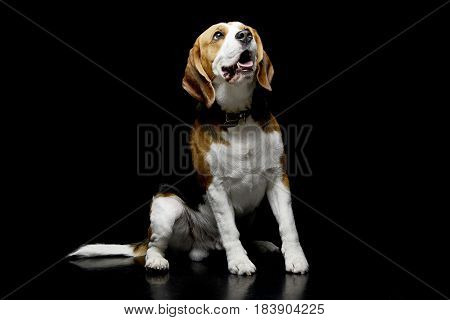Studio Shot Of An Adorable Beagle