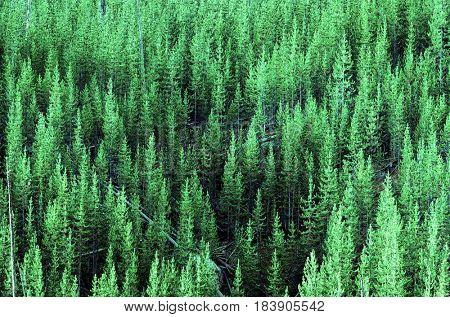 Forest of Lush Green Pine Trees