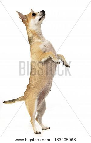 An Adorable Chihuahua Standing On Hind Legs