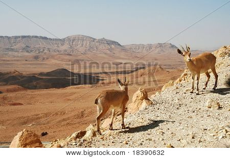 Two ibexes on the cliff at Ramon Crater (Makhtesh Ramon) in Negev Desert in Israel.