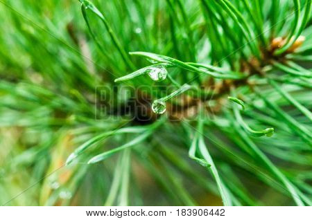 A Waterdrop On A Pine Needle