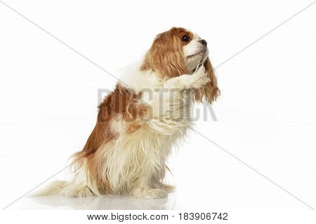 An Adorable American Cocker Spaniel Lifting Her Front Leg