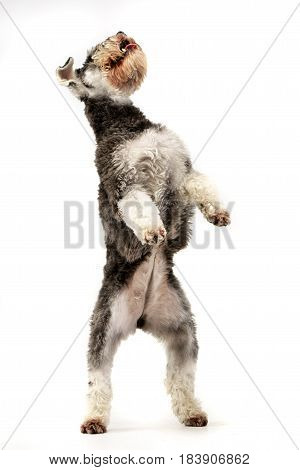 An Adorable Miniature Schnauzer Standing On Hind Legs