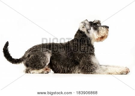Studio Shot Of An Adorable Miniature Schnauzer