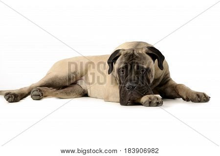 Studio Shot Of An Adorable Bull Mastiff