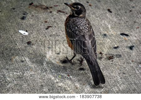 A young American robin (Turdus migratorius) stands on a back yard patio in Joliet, Illinois during July.