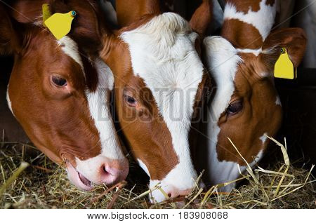 Dutch cows eating in the barn