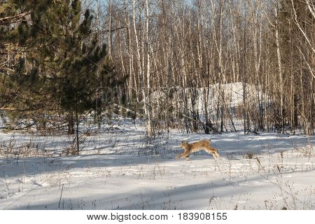 Canadian Lynx (Lynx canadensis) Bounds Left Through Snow - captive animal