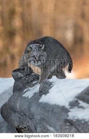 Bobcat (Lynx rufus) Turns on Log - captive animal