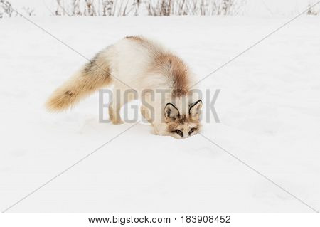 Red Marble Fox (Vulpes vulpes) Nose Buried in Snow - captive animal