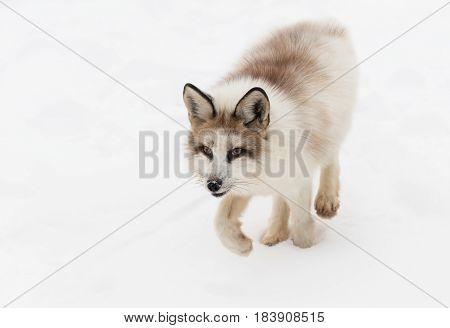 Red Marble Fox (Vulpes vulpes) Trots Forward - captive animal