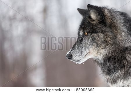 Black Phase Grey Wolf (Canis lupus) Profile Copy Space - captive animal