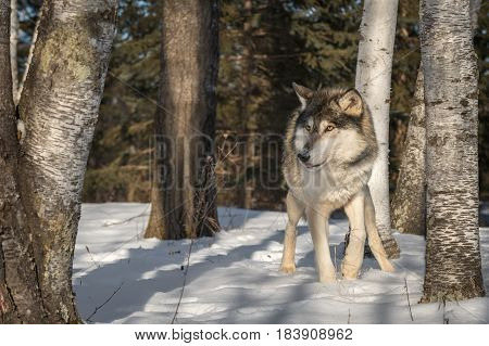 Grey Wolf (Canis lupus) Looks Left from Birch Trees - captive animal