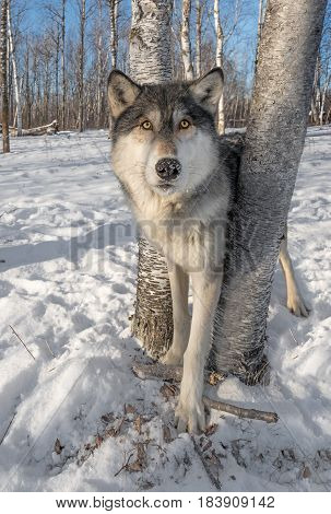 Grey Wolf (Canis lupus) Stands Between Trees Ears Forward - captive animal