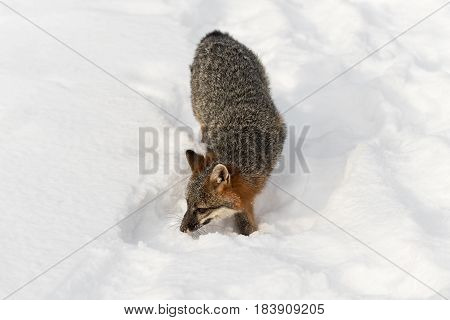 Grey Fox (Urocyon cinereoargenteus) Walks Forward Through Snow - captive animal