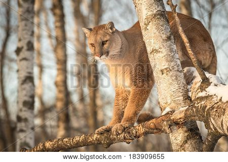 Adult Female Cougar (Puma concolor) Looks Down from Birch Branches - captive animal
