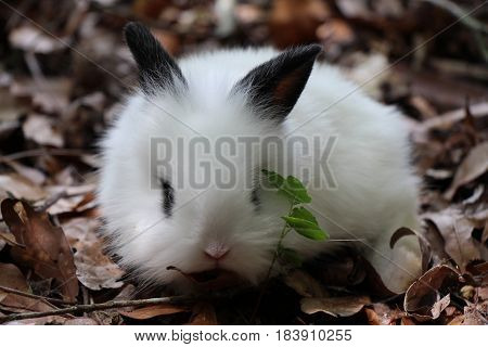 A Black and White Baby Lionhead Rabbit Eating Leaves