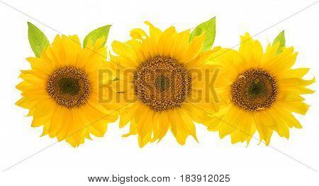 Sunflower head isolated on white background. Beautiful sumer flowers