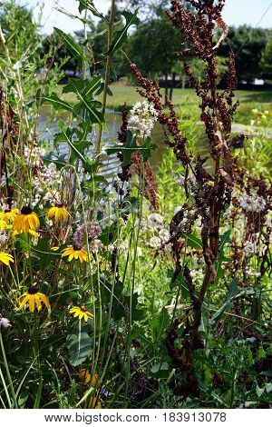 Nodding onions (Allium cernuum), also called lady's leek, bloom together with black-eyed Susan flowers (Rudbeckia hirta) and curly dock (Rumex crispus) in Joliet, Illinois during August.