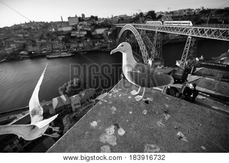 Seagulls sits on the background of Douro river and Dom Luis I Bridge, Porto, Portugal. Black and white photo.