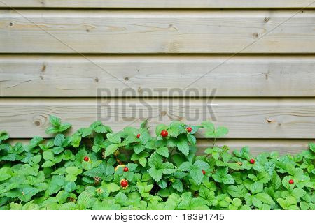 wild strawberry plants growing against a fence